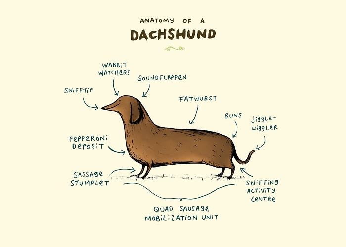 dachshund anatomy