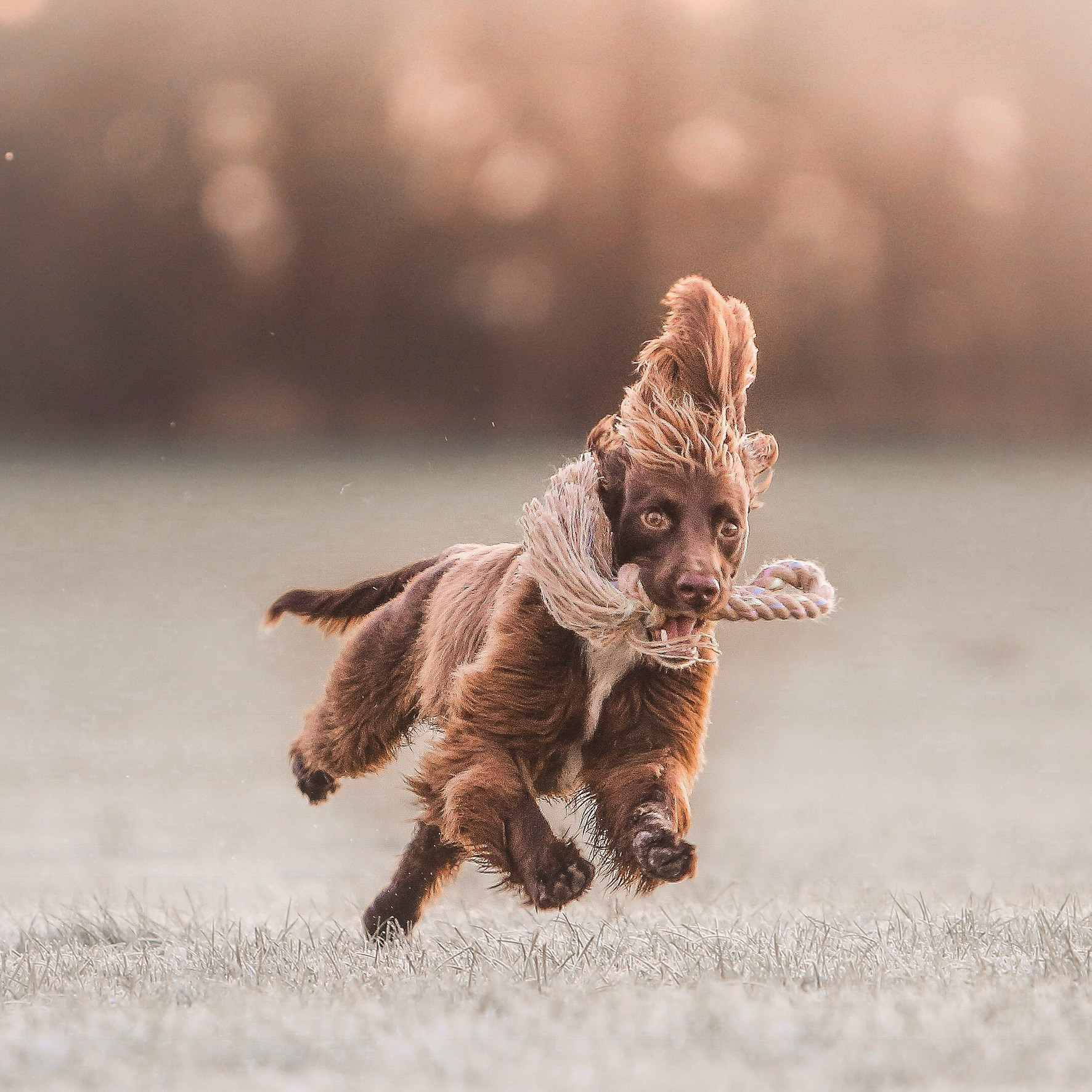 Maximus running